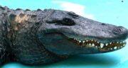 تعبیر خواب تمساح سبز و سیاه چیست